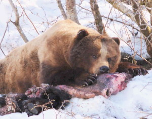 As seen and heard in Alaska Magazine, Black Bear s feeding ion Salmon